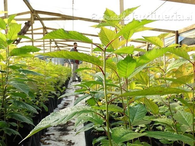 Viveros frutales maule for Viveros en curico