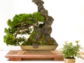 Vive Bonsai